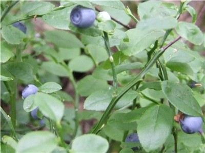 Blaeberries
