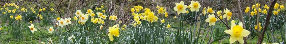 Daffodils at Froghall Wharf